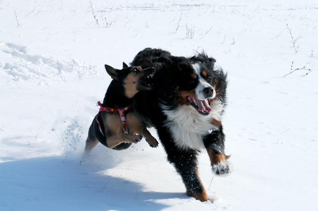 dogs-running-1-1623343-639x425
